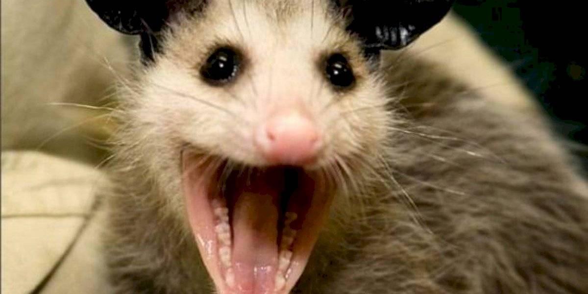 Vídeos: guarda ambiental resgata filhote de preguiça, jacaré e gambás no Rio de Janeiro