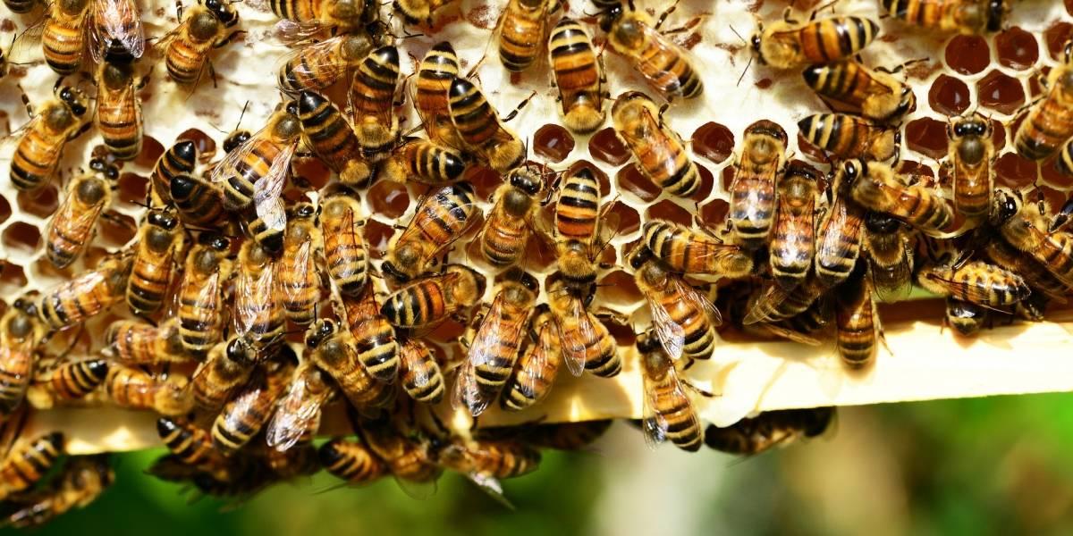 Las abejas cuentan mejor si son castigadas: estudio demuestra sus habilidades numéricas