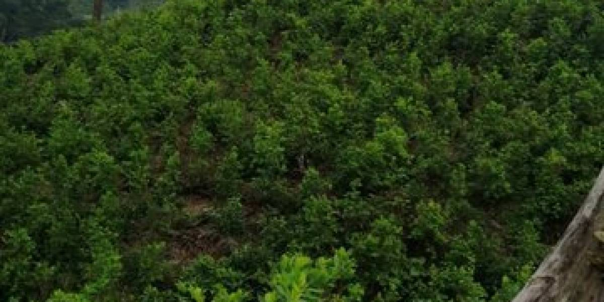 Soldados localizan vivero y plantaciones de cocaína en Izabal