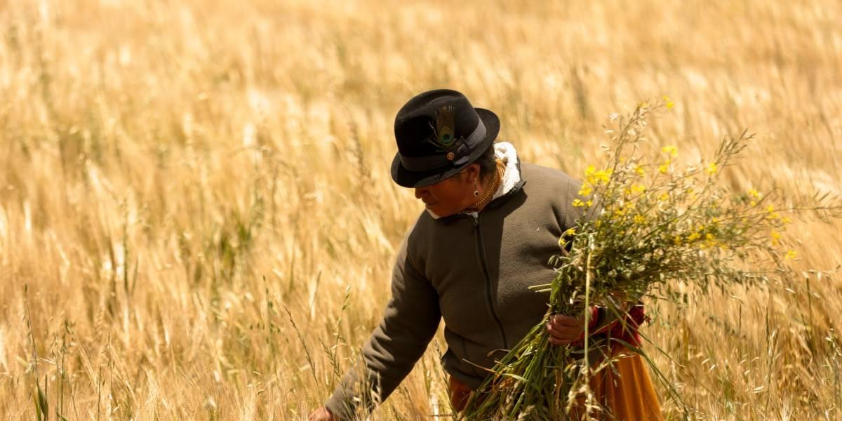 Cervecería Nacional inicia la temporada de cosecha de cebada maltera en Ecuador