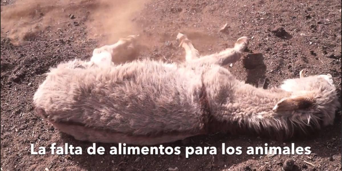 Video muestra el terror de la sequía en Chile: Animales deshidratados y desnutridos y el dolor de crianceros