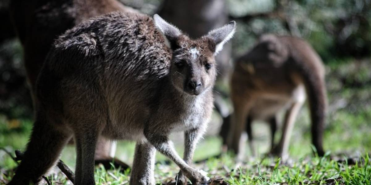 Canguros se están comiendo entre sí ante devastadora sequía en Australia