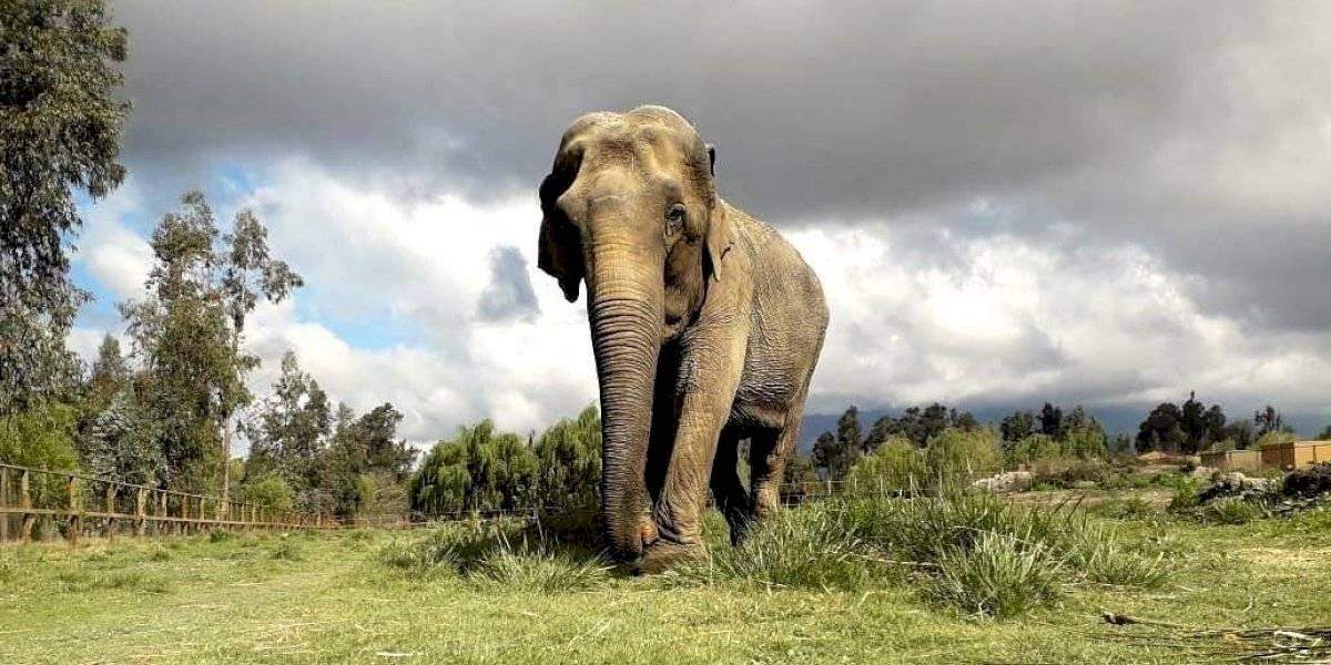 Elefanta vítima de maus tratos em circo chileno será acolhida por santuário em Mato Grosso