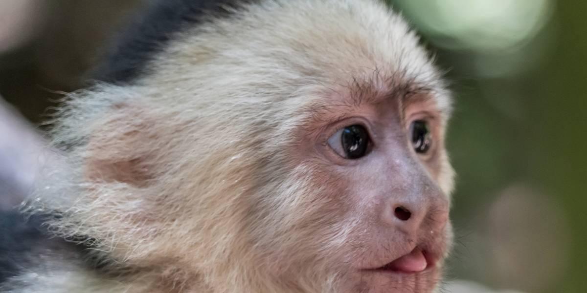Los monos tienen mayor flexibilidad cognitiva que los humanos
