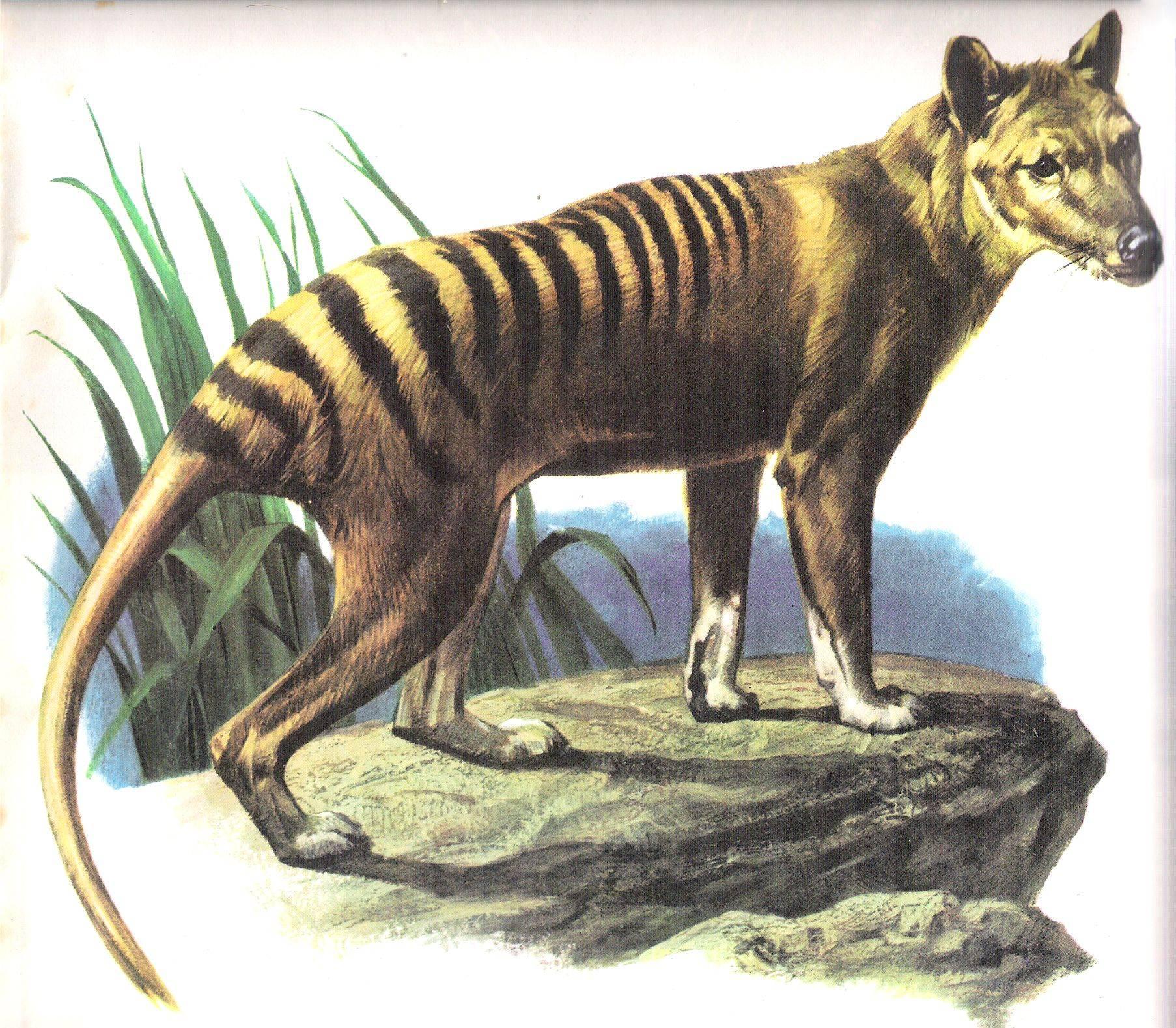Increíble: Animal supuestamente extinto hace 80 años ha sido visto 8 veces