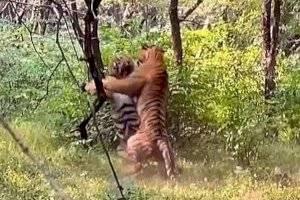 Turista grava intensa luta entre dois tigres por uma fêmea e vídeo se torna viral nas redes sociais