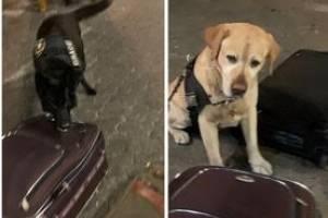 Cães farejadores da Receita Federal encontram cocaína em mala no Aeroporto de Guarulhos
