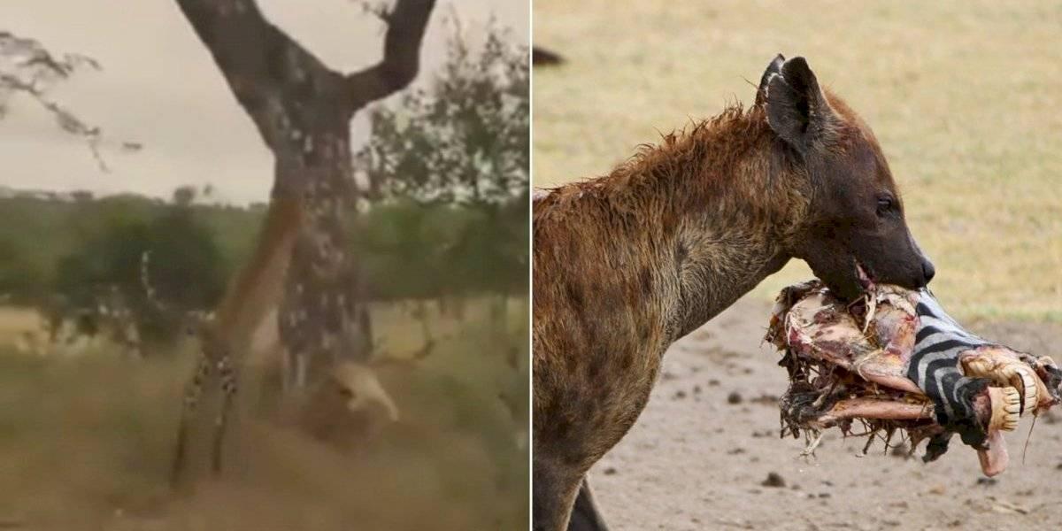 Vídeo de ataque de hiena contra leopardo se torna viral nas redes sociais
