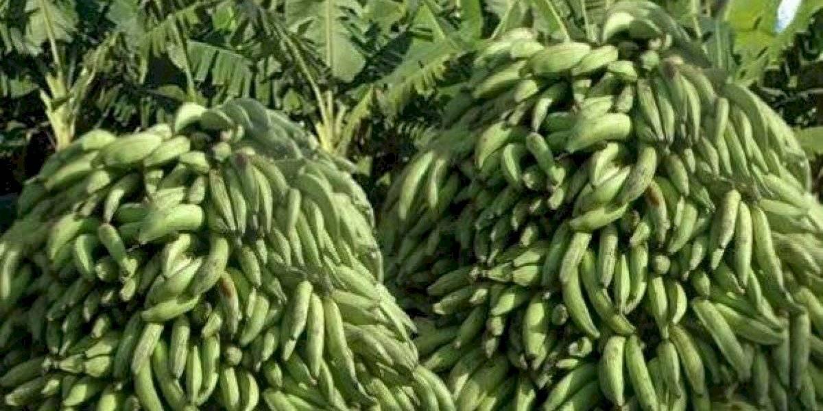 Inician venta de plátano y guineo a precios populares