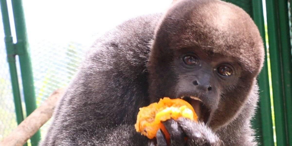 Rescatan cuatro monos churucos que podrán tener una nueva oportunidad de vida