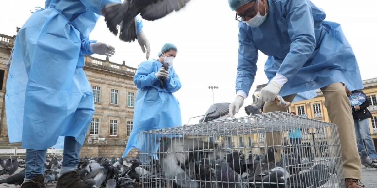¿Cómo va la atención de las palomas en la Plaza de Bolívar?