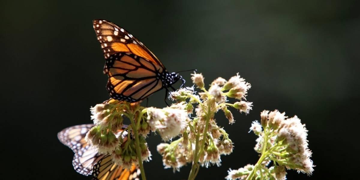 La Mariposa Monarca: símbolo norteamericano en peligro
