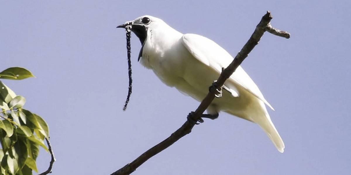 El pájaro más ruidoso del mundo es de América del Sur y genera 125 decibelios