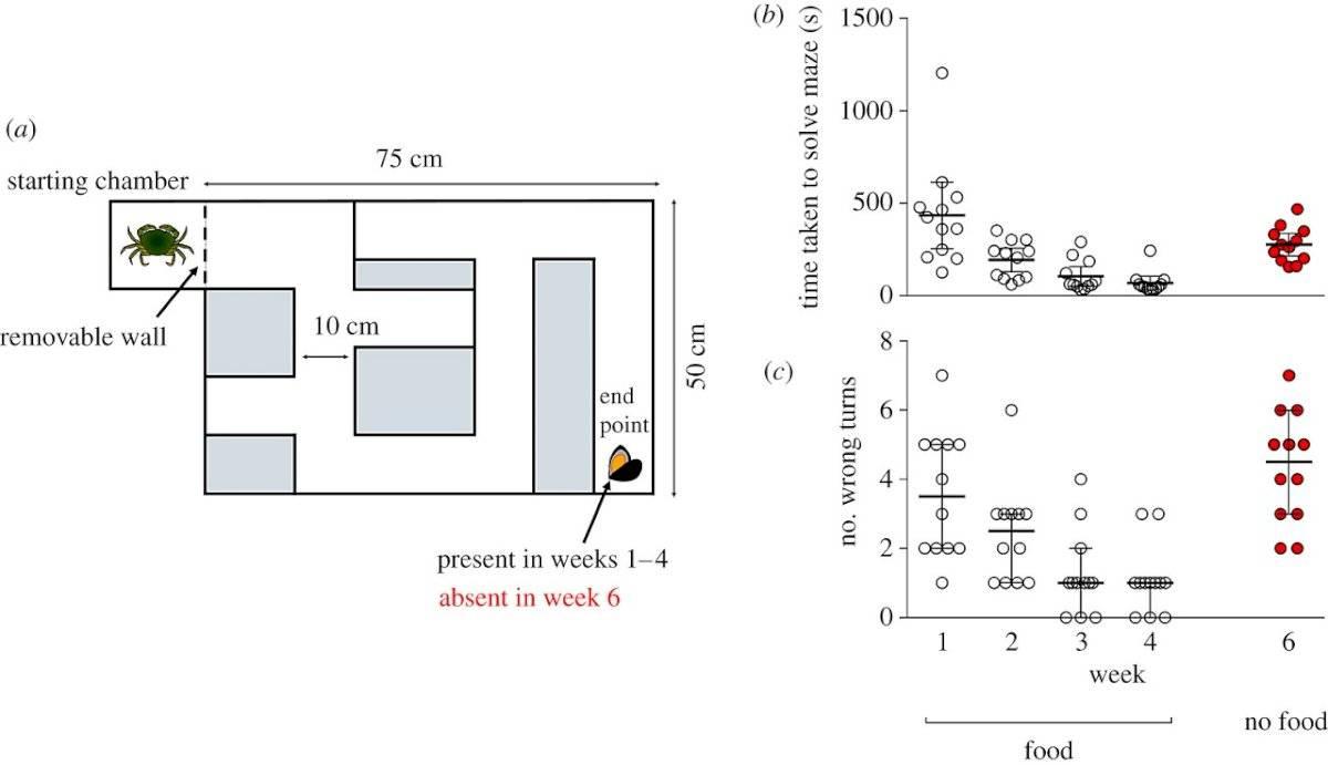 Los cangrejos tienen memoria: científicos los ponen a prueba con un laberinto