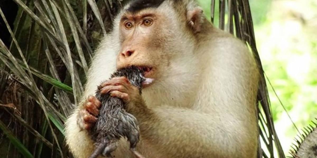 Monos devorando ratas dejaron atónitos a los investigadores