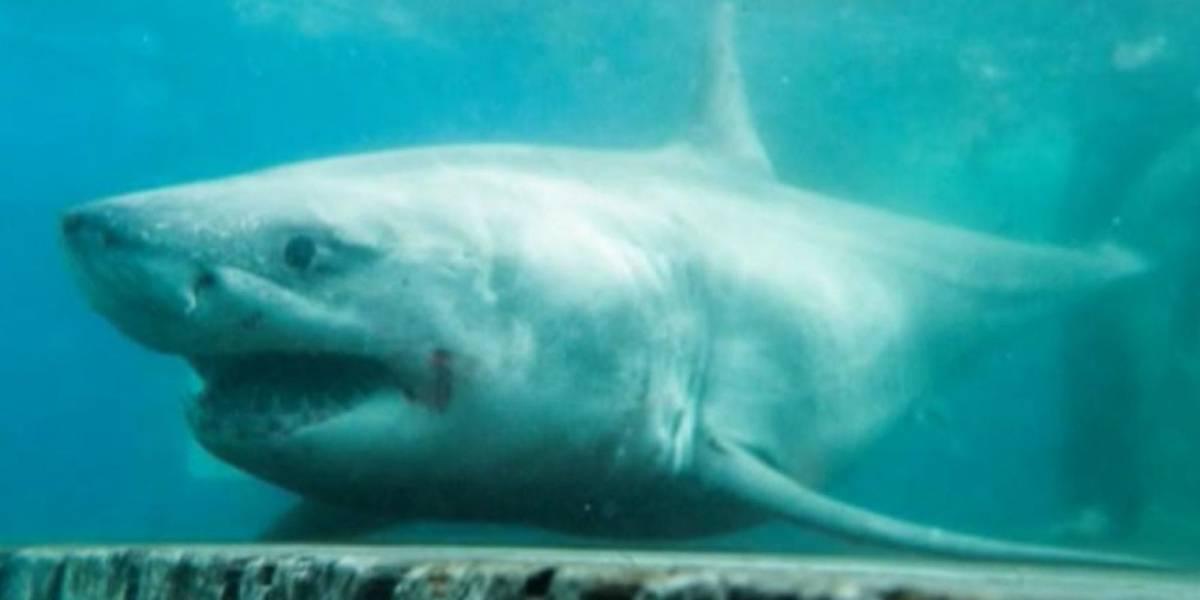 Un tiburón blanco de 4 metros de largo es encontrado con una mordida de un animal más grande