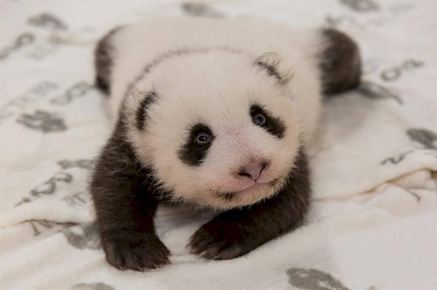 Panda bebé en Berlín