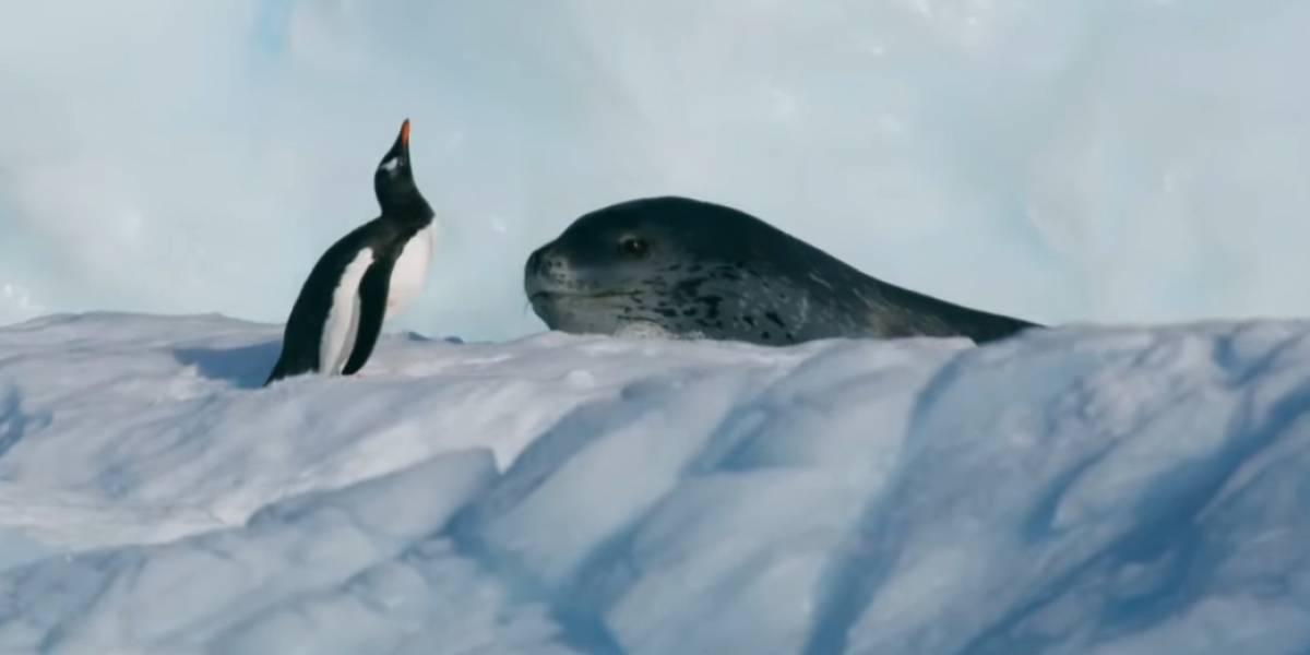 Quién gana en un combate entre una foca leopardo y un pequeño pingüino
