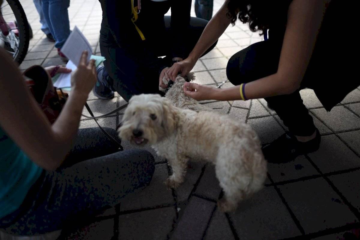 Las perras preñadas y en periodo de amamantar también pueden ser vacunadas contra la rabia. Foto: Oliver de Ros