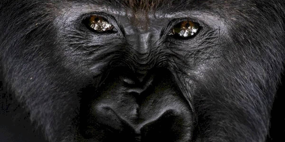 """Medidas """"extremas"""" para salvar a los gorilas en África"""