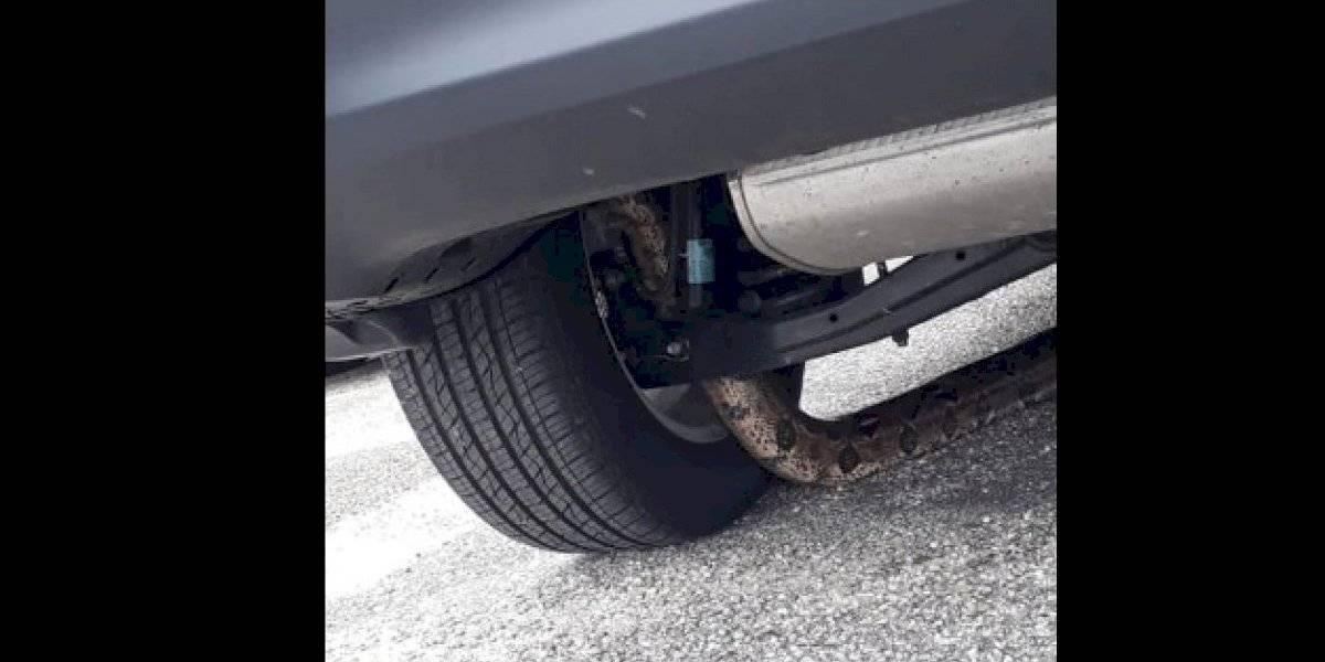 Vídeo mostra resgate de cobra que estava entalada em carro