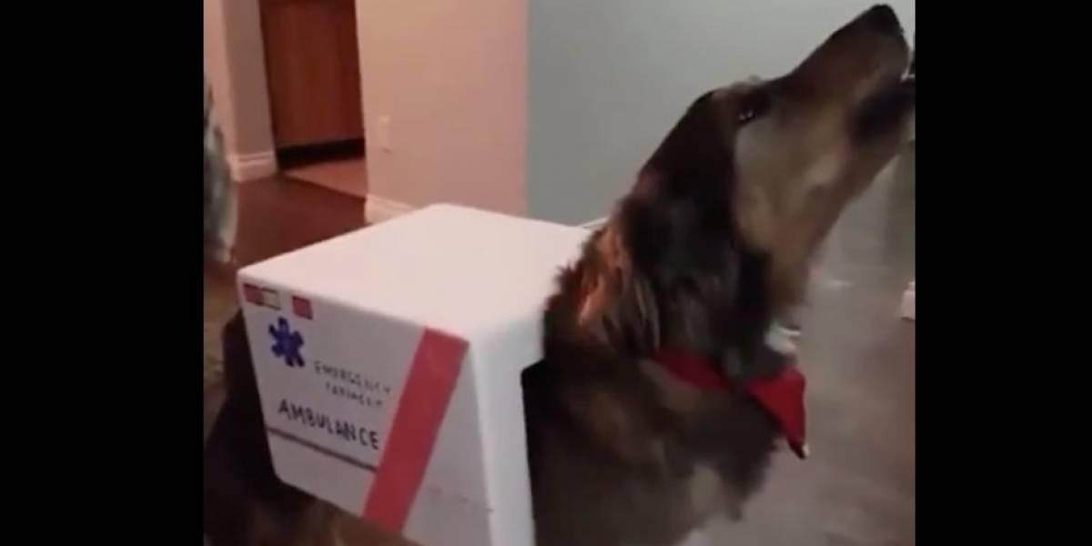 (VIDEO) Un perro disfrazado de ambulancia genera controversia en redes sociales