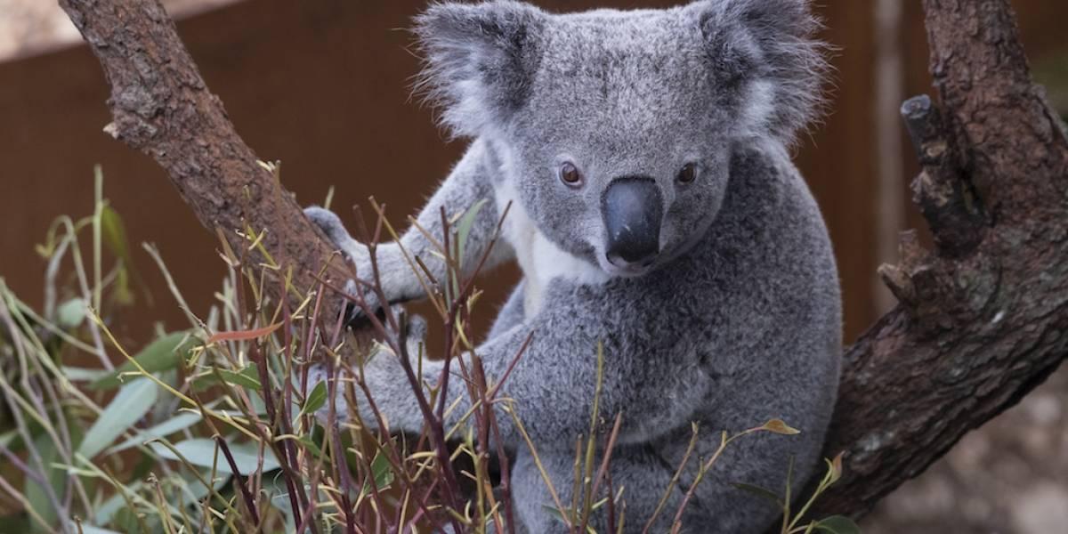 Cientos de koalas podrían haber muerto en fuegos forestales en Australia