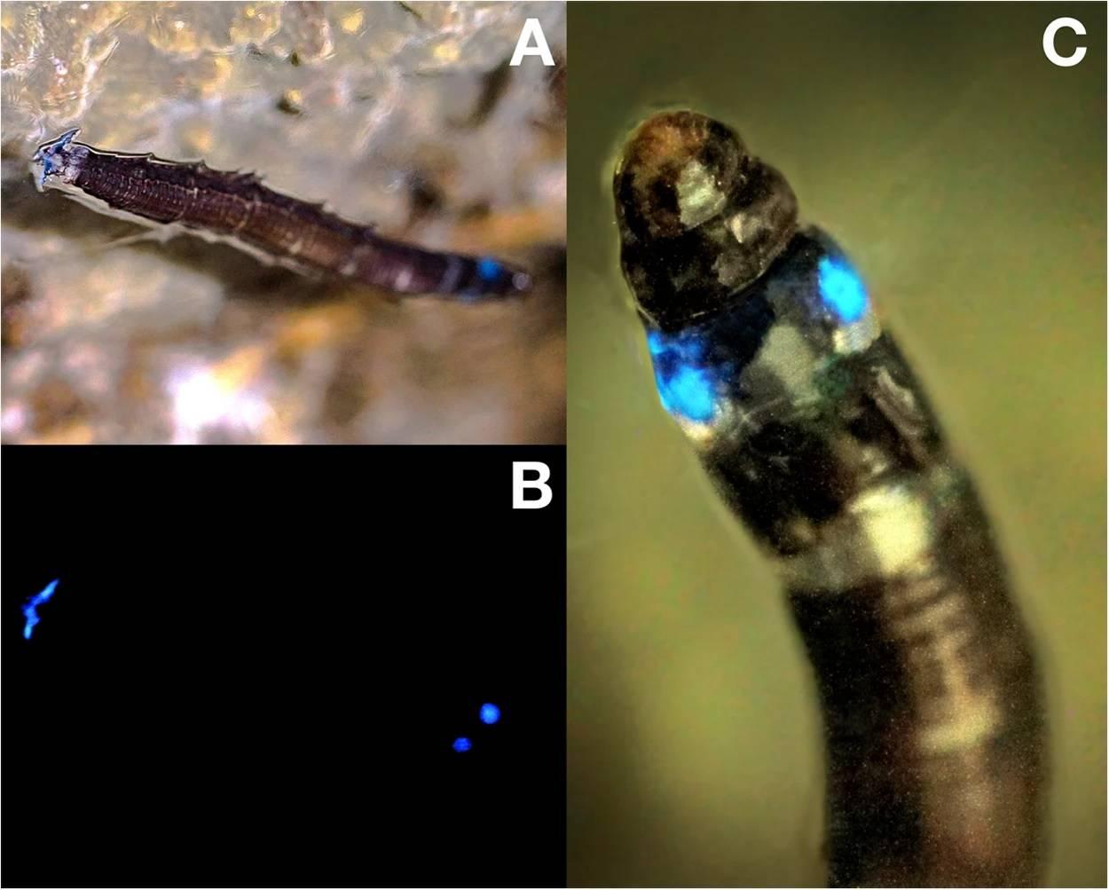 Descubren por primera vez un insecto que emite luz azul por primera vez en Brasil