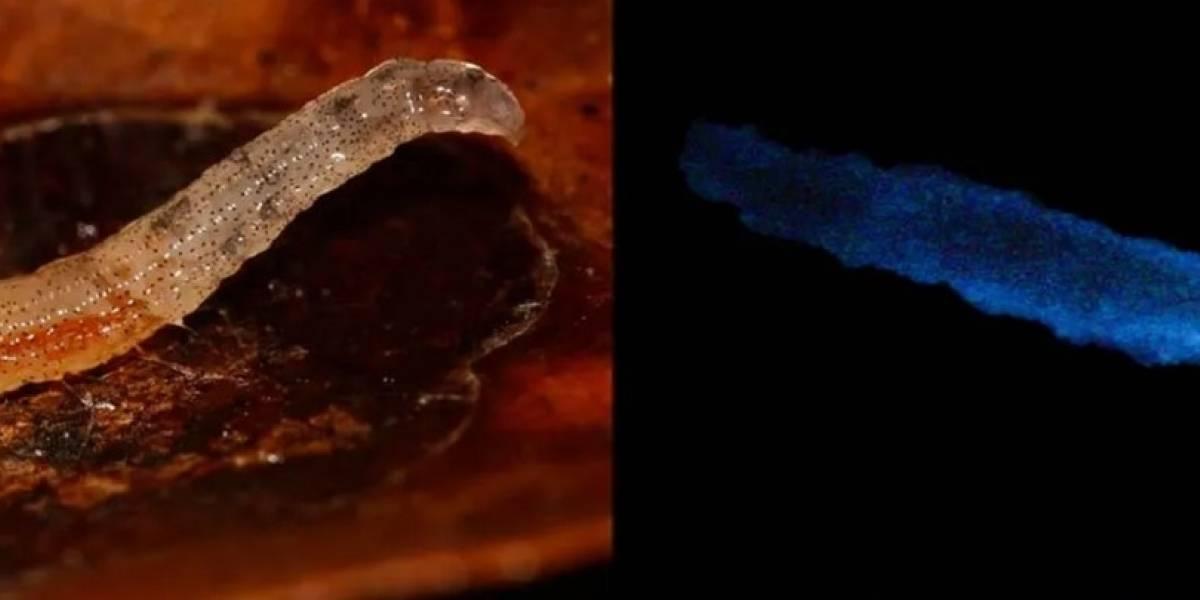 Descubren por primera vez un insecto que emite luz azul en Brasil