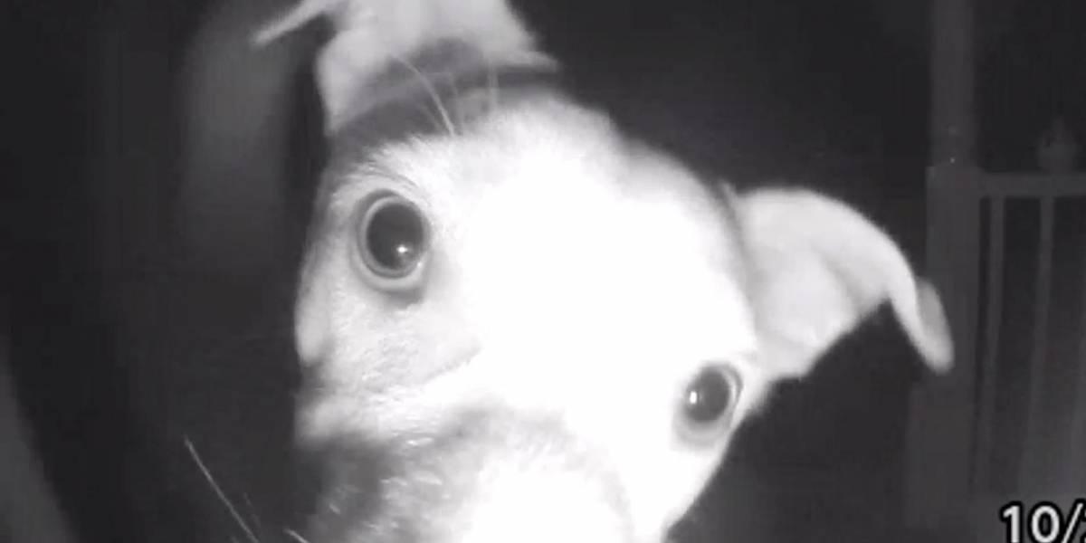 Cão aperta campainha com o focinho após ficar preso fora de casa