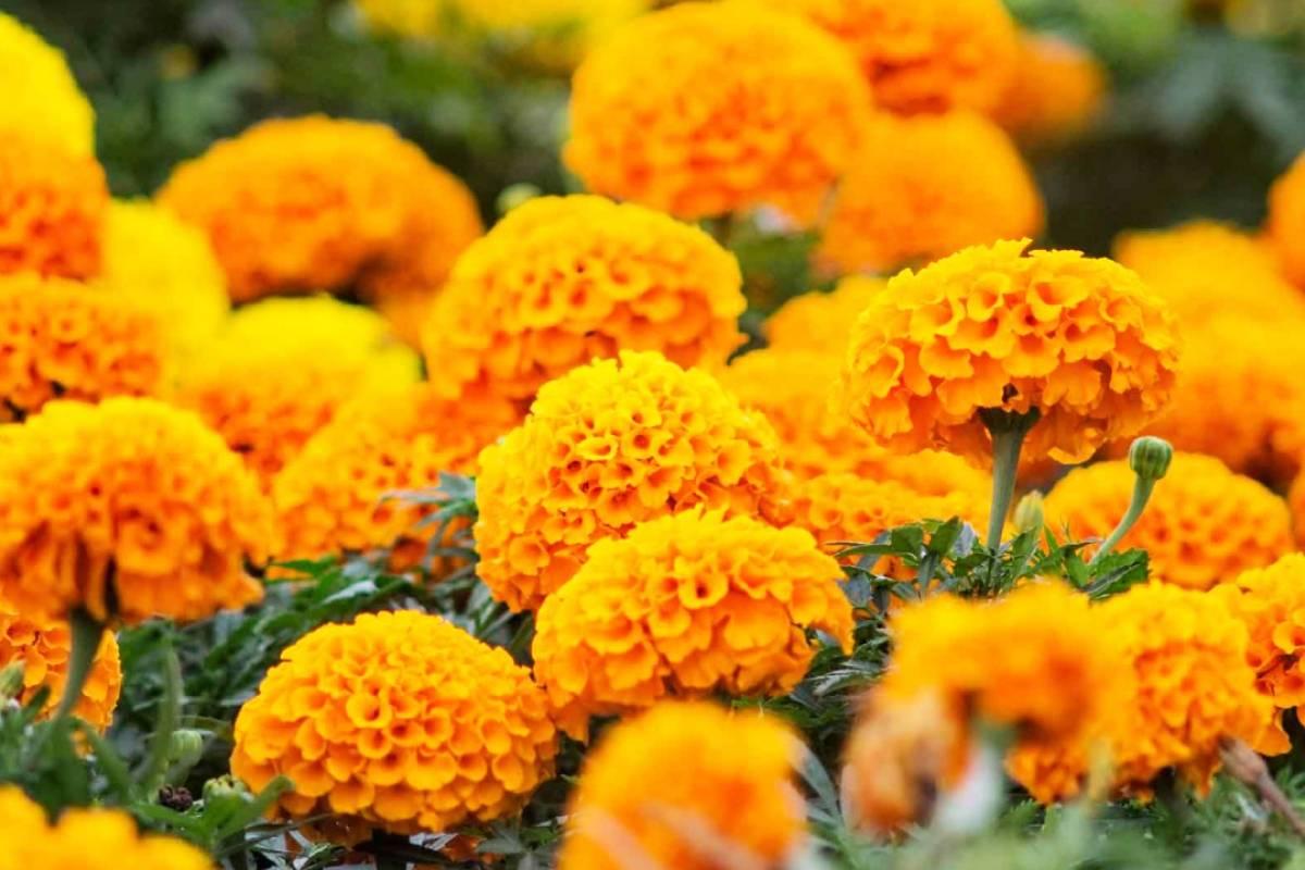 Día de Muertos: Este es el significado de la flor de Cempasúchil ...