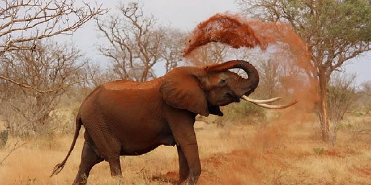 Vídeo viral mostra momento em que elefante resolve deitar sobre o carro de turistas