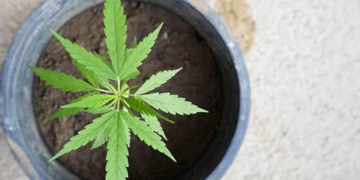 Tratamiento con marihuana exacerba síntomas de enfermedades mentales
