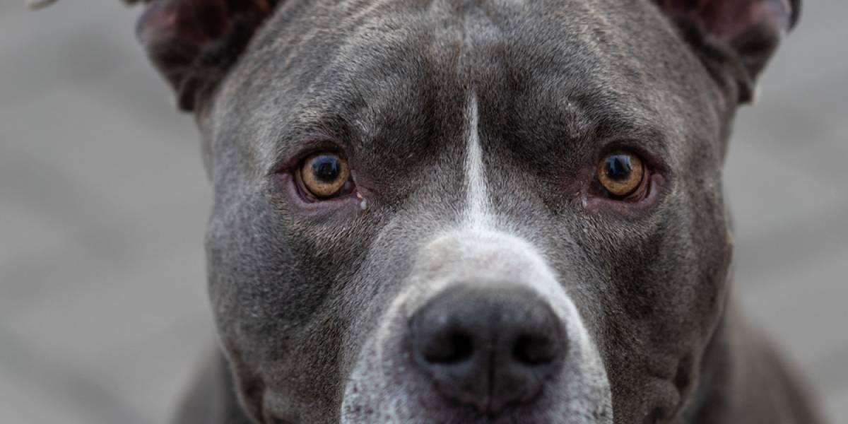 VIDEO. Se reporta tercera víctima por ataque de pitbull en una semana