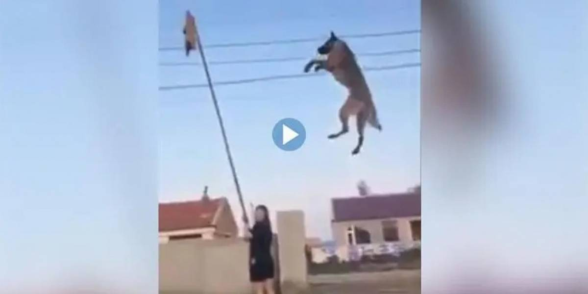 Vídeo viral mostra treinamentos de cão de guerra e surpreende as redes sociais