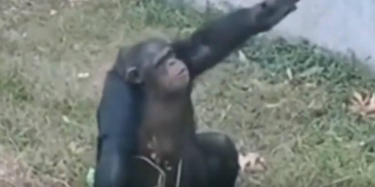Vídeo de chimpanzé fumando em zoológico se torna viral e levanta debates nas redes sociais