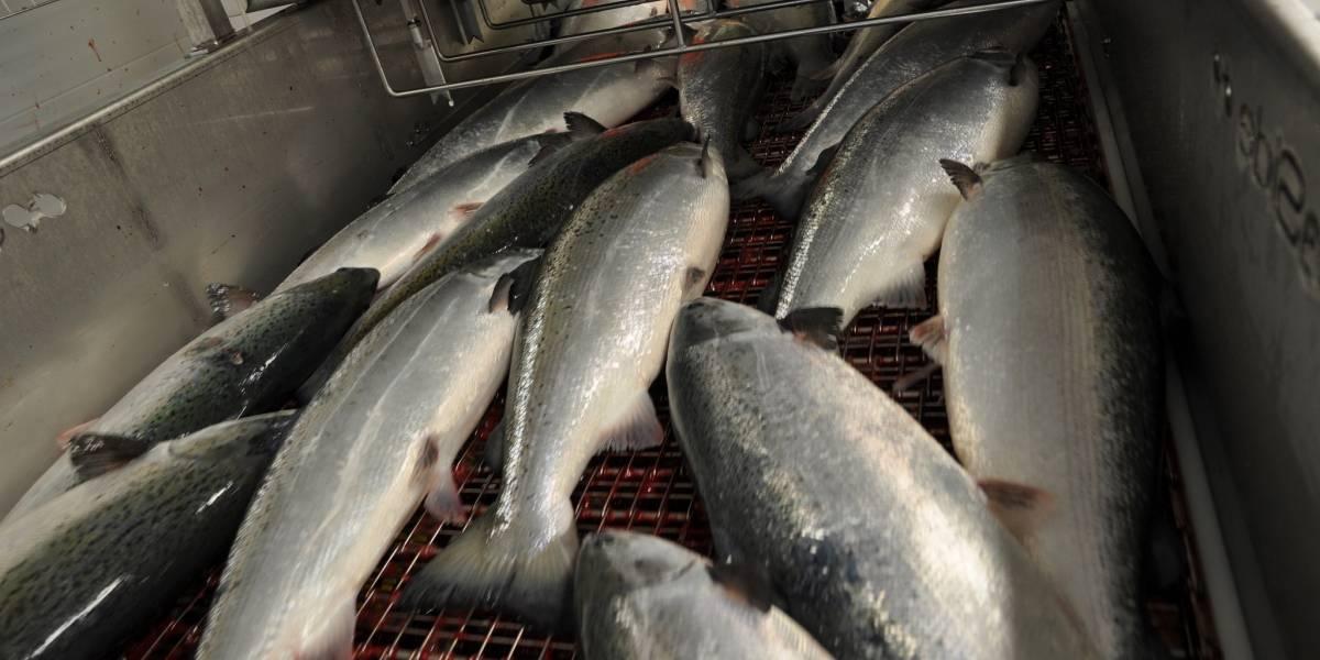 Miles de salmones se están pudriendo por las protestas en Chile y advierten riesgo de daño ambiental