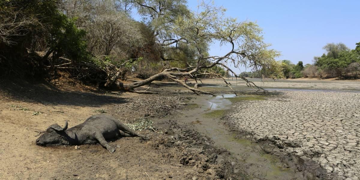 Elefantes y otras especies mueren en Zimbabue por grave sequía