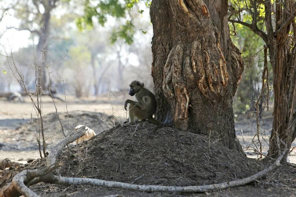 Un mono sobrevive a la sequía en Zimbabue