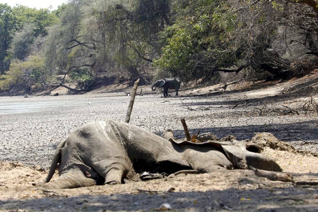 Elefante muerto en Zimbabue