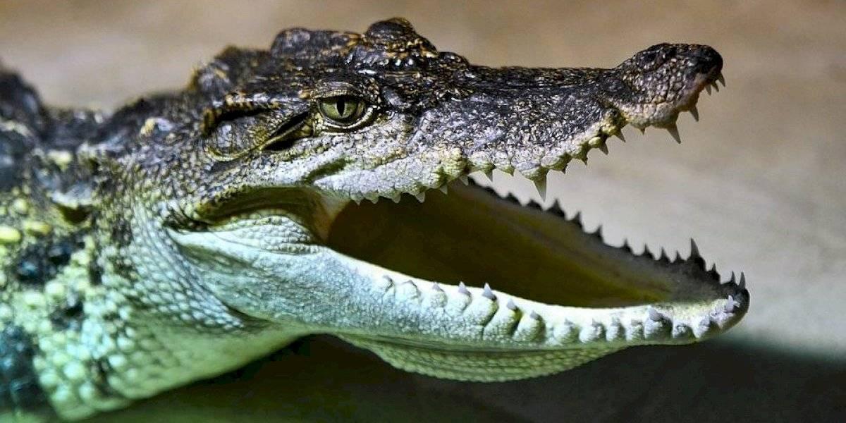 Vídeo de captura de crocodilo agressivo que invadiu jardim é compartilhado nas redes sociais