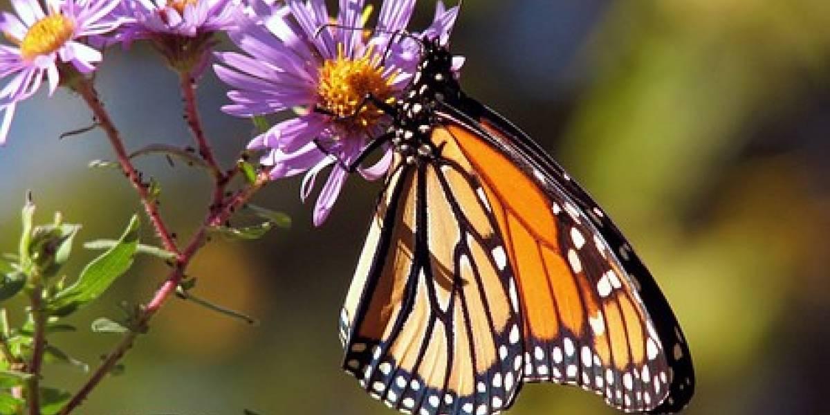 La mariposa Monarca podría extinguirse en 50 años, reveló un estudio