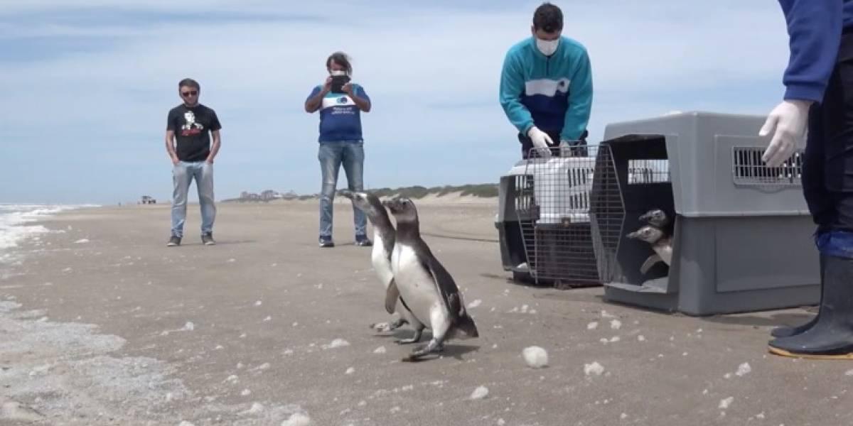 VÍDEO: Pinguins debilitados por petróleo voltam ao mar após reabilitação