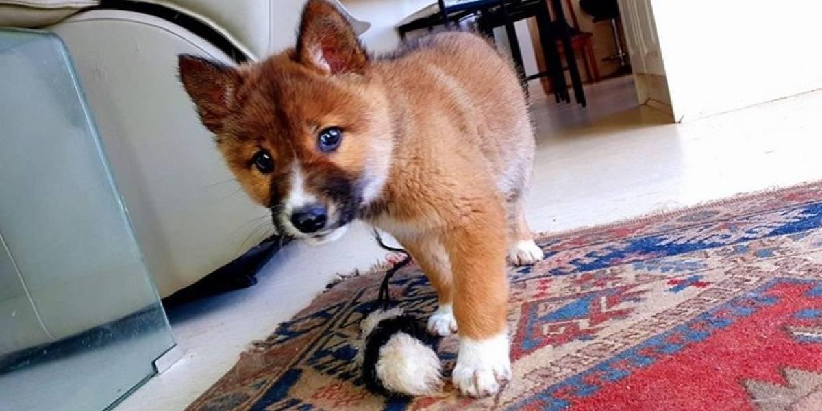 """Adoptaron un """"perrito"""" herido, sin saber que se trataba de una rara especia amenazada"""