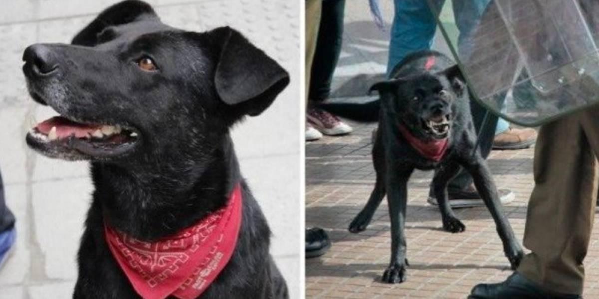 A história do 'Negro Matapacos', o cachorro que se tornou ícone dos protestos no Chile