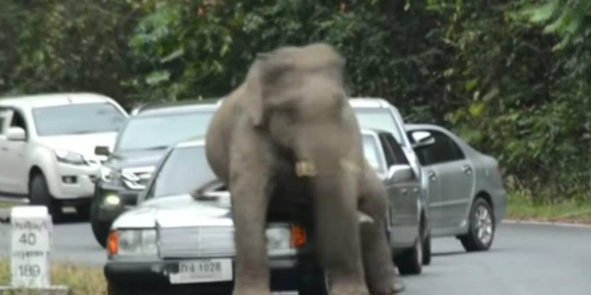 Videos muestran a elefantes en Tailandia subiéndose a los autos, ¡buscan aparearse!