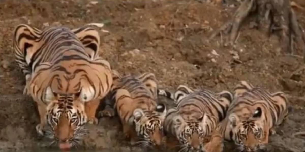 Vídeo que flagra família de tigres bebendo água em rio se torna viral no Twitter
