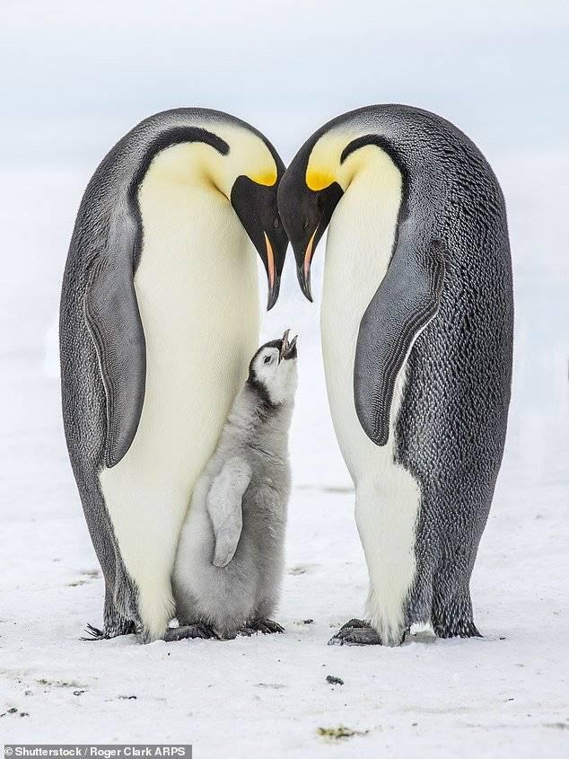 Preocupante: Pingüinos emperador corren serio peligro de extinguirse por cambio climático