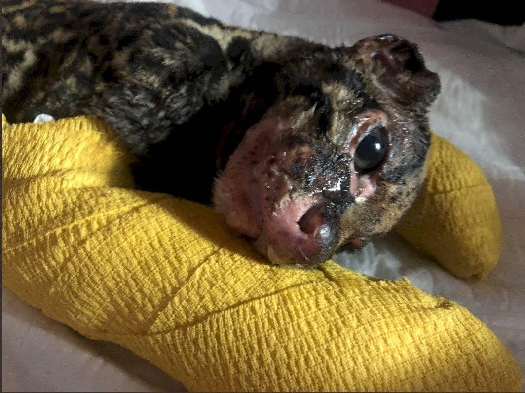 Tigrillo fue hallado con quemaduras de segundo y tercer grado en Milagro Proyecto Sacha