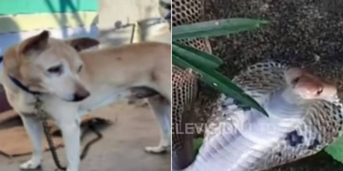 Cachorro luta com cobra venenosa para salvar família